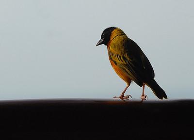 Bird, Mweya Lodge, Uganda.