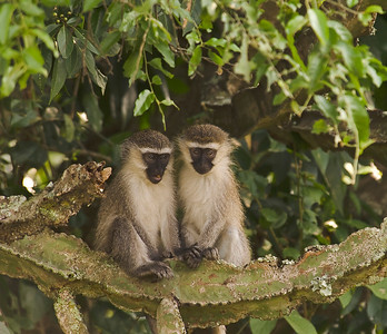 Vervet monkeys, Queen Elizabeth National Park, Uganda.