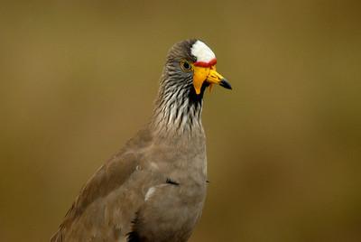 Ugandan fowl.