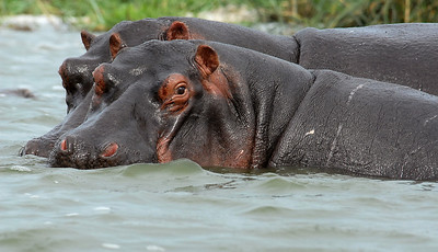Hippos in the Kazinga Channel between Lakes Edward and George, Uganda.