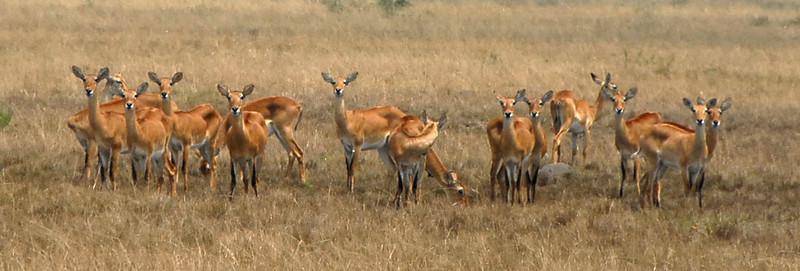Female kobs, Ishasha Wilderness, Uganda.