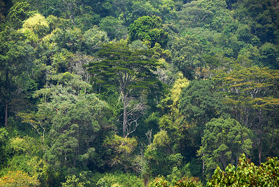The Bwindi Impenetrable Forest, Uganda.