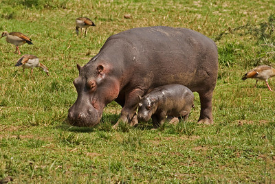 Hippo family on the banks of the Kazinga Channel between Lakes Edward and George, Uganda.