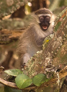 Vervet monkey, Queen Elizabeth National Park, Uganda.