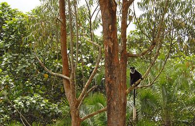 Colobus monkey, Uganda.