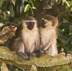 Vervet monkeys, Queen Elizabeth National Park, Uganda.