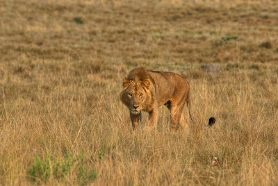 Lion in the Ishasha Wilderness, Uganda.