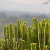 Cactus near Mweya Lodge, Queen Elizabeth National Park, Uganda.