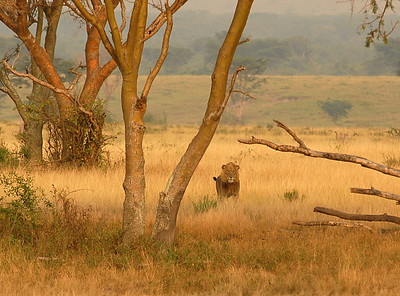 Lion in the Ishasha Wilderness, Uganda.