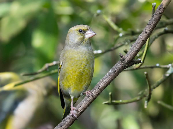 European (Common) Greenfinch