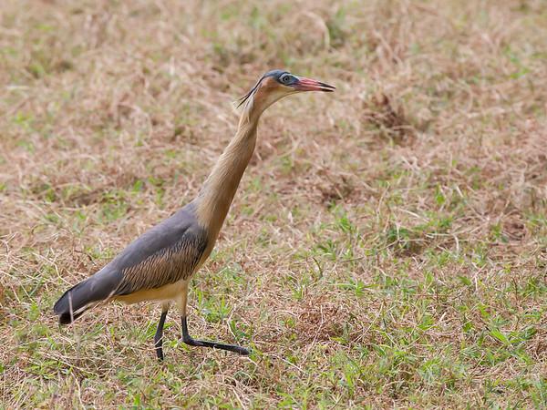 Whistling Heron