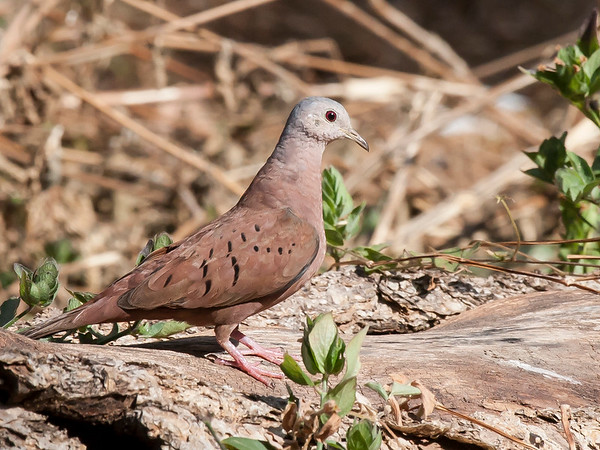 Rudddy Ground-dove