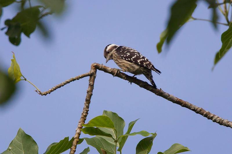 Grey-capped Woodpecker