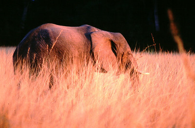 Elephant as sunset, South Luangwa Park, Zambia.