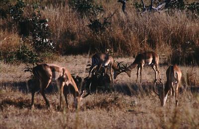 Young impala males, South Luangwa Park, Zambia.