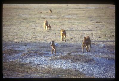 Monkey family, South Luangwa Park, Zambia.