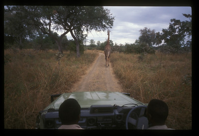 Giraffe leads the way. Safari vehicle, South Luangwa Park, Zambia.