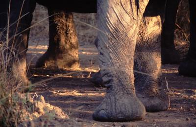 Elephants, South Luangwa Park, Zambia.