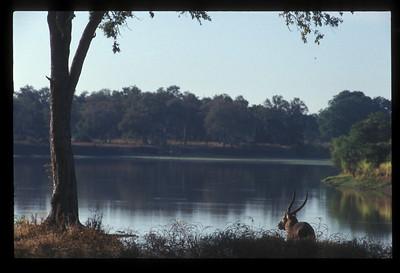 Waterbuck, South Luangwa Park, Zambia.
