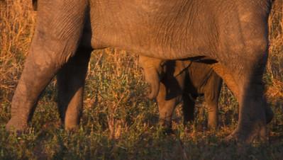 Bashful baby elephant, South Luangwa Park, Zambia