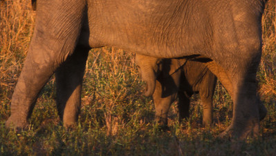 Bashful baby elephant, South Luangwa Park, Zambia