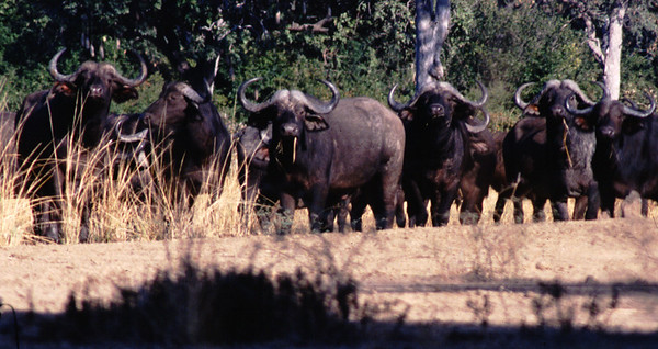 Buffalo, South Luangwa Park, Zambia.