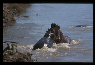 Hippo fight, Luangwa River, South Luangwa Park, Zambia.
