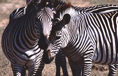 Zebras, South Luangwa Park, Zambia.