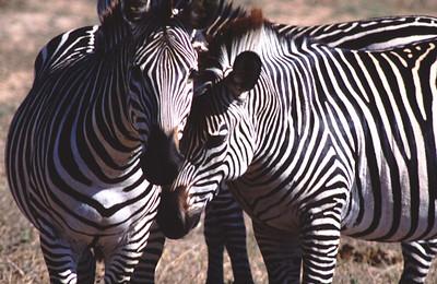 Zebras, South Luangwa Park, Zambia.