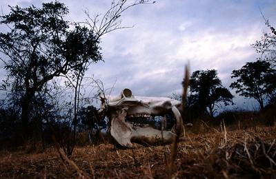 Skull, South Luangwa Park, Zambia.
