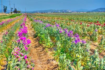 Lompoc-flower fields-9099-