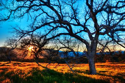 oak-tree_8603