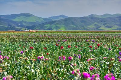Lompoc-flower fields-9114-