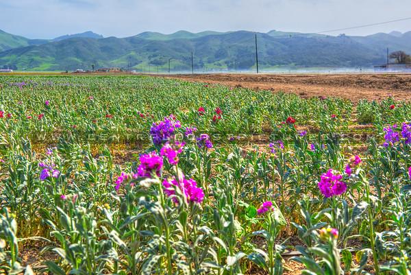Lompoc-flower fields-9108-