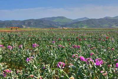 Lompoc-flower fields-9119-9119
