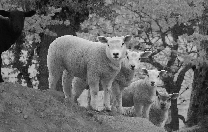 5 Lambs