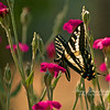 Swallowtail In the Pinks