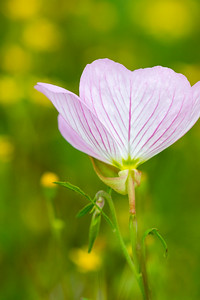 Pink Buttercup