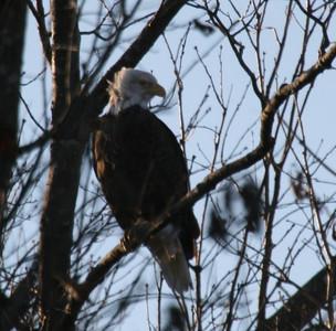 2011 Bald Eagle_0034