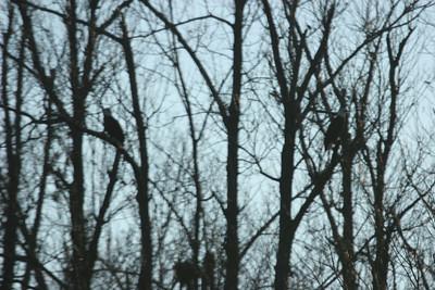 2011 Bald Eagle_0018