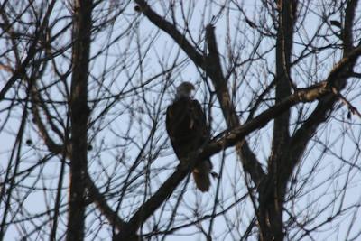 2011 Bald Eagle_0037