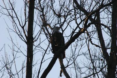 2011 Bald Eagle_0057