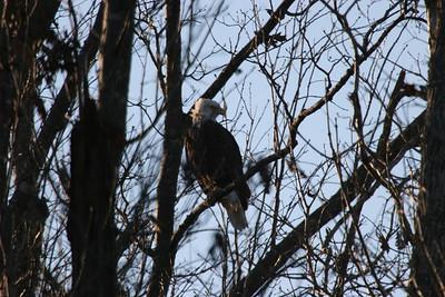 2011 Bald Eagle_0035