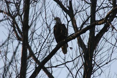 2011 Bald Eagle_0047