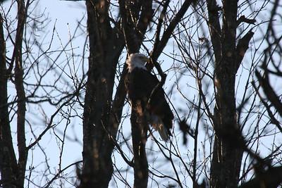2011 Bald Eagle_0042