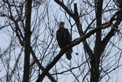 2011 Bald Eagle_0044