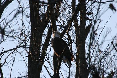 2011 Bald Eagle_0050