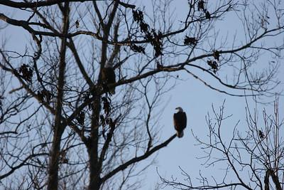2011 Bald Eagle_0024