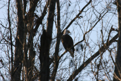 2011 Bald Eagle_0033