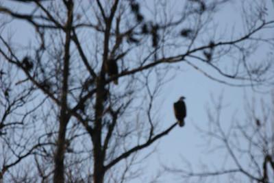 2011 Bald Eagle_0022